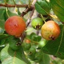 Sementes Araçá Vermelho / Araçá Goiaba - 100 gramas - Bentec sementes e insumos