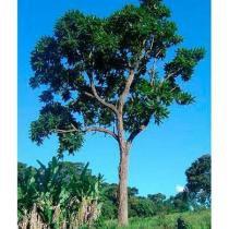 Sementes de Cedro Rosa - Cedrela fissilis - 100 gramas - Bentec sementes e insumos