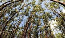 Sementes Eucalipto Viminalis 100 gramas - Bentec sementes e insumos