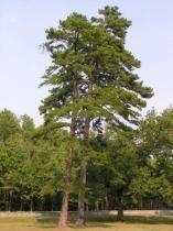 Sementes Pinus Taeda 100 gramas - Bentec sementes e insumos